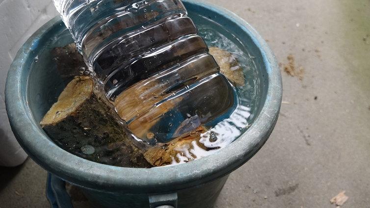 産卵木 加水