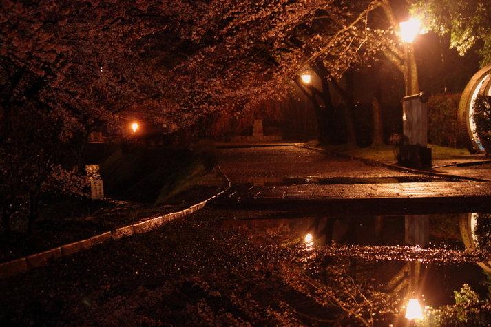 七谷川 夜桜 亀岡
