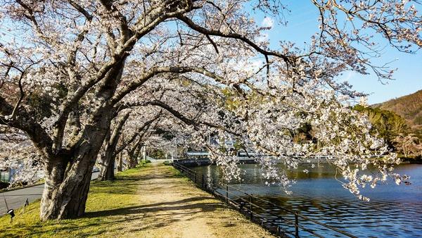 亀岡 水鳥のみち 桜 2019年