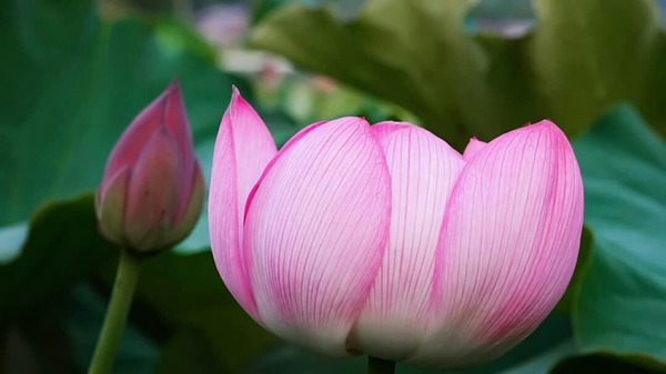 関西 蓮の花