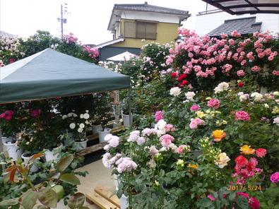 Y宅のバラ庭雨除けのテントが
