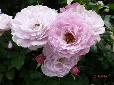 コティヨンの花にに蜂が