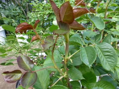二番花の枝