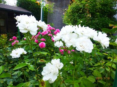 アイスバーク 2番花