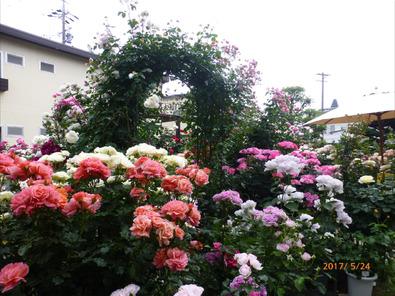 Y宅のバラ庭