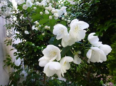 梅花空木の花
