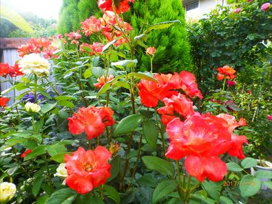 プリンセスミチコ 2番花