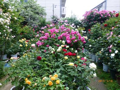 ガゼボから見た今日のバラ庭