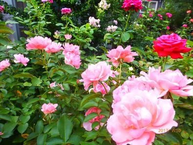 ジャルダンドゥフランス 2番花