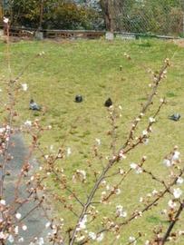 270x360桜と鳩106