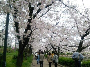 360x270桜並木1129