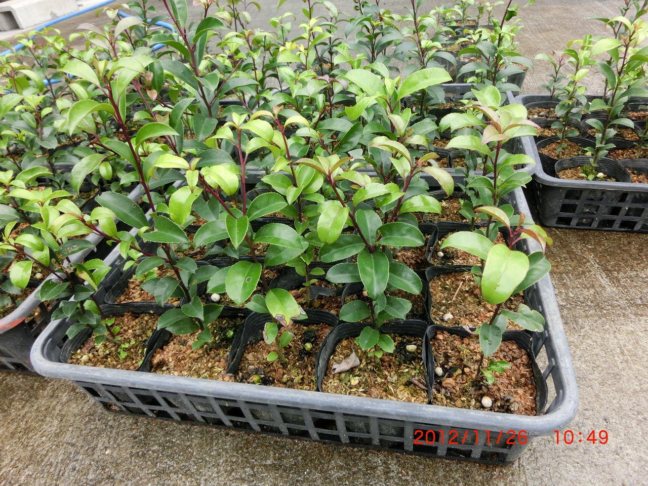 CIMG0251 吉川養蜂園のブログ : クロガネモチ 吉川養蜂園のブログ 熊本県葦北郡で養蜂を