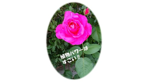 バラのパワー