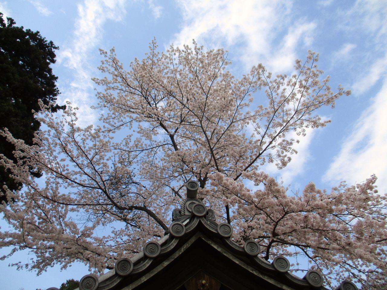 6074】湧き起こる桜吹雪を浴び走...