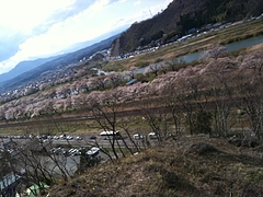 一目千本桜 白石市大河原