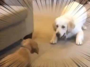 子イヌが我が家にやってきた。新入り君、歓迎するよぉ~! → 先住犬はこうなった…