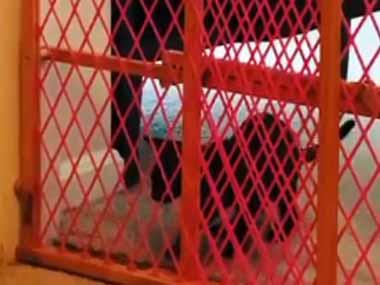 よちよち歩きの子ネコたちが脱走しないように、部屋の入り口に柵を置いてみた → 今ではこの有様です…