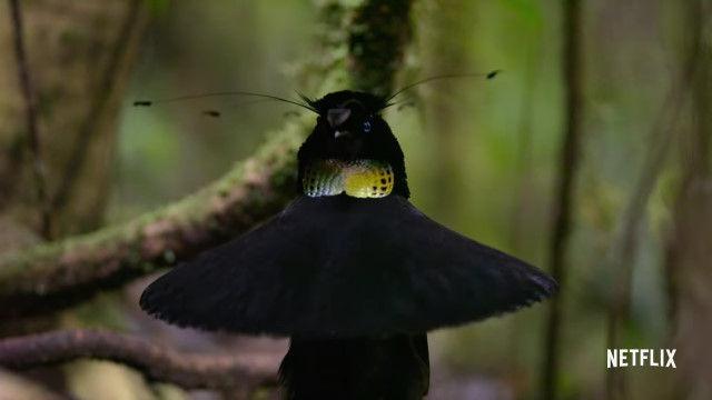 変形する鳥。目の色が一瞬で変わる鳥。南国の鳥たちの不思議すぎる求愛行動がすごい