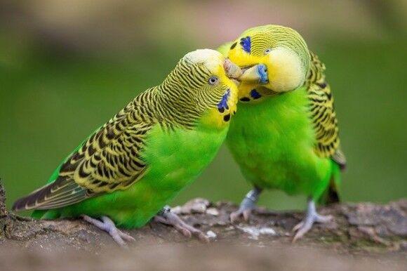 鳥は地球温暖化に適応するために体の大きさを変化させている(オーストラリア研究)