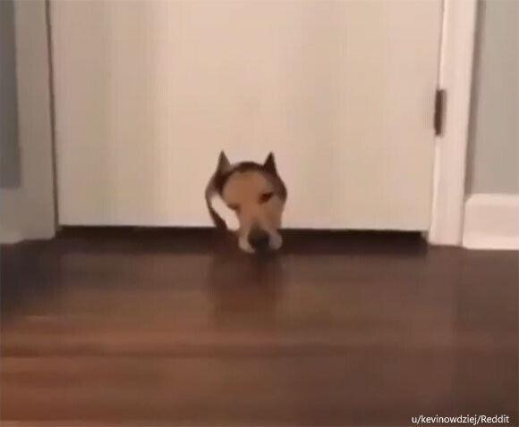 ぴったりだったもんだから...猫用ドアを顔でふさぐ犬とそこを通ろうとする猫