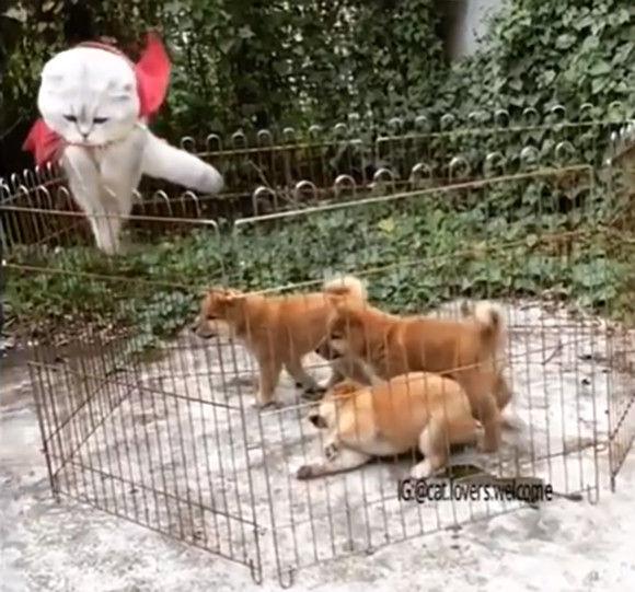 この赤いマントはダテじゃないぜ!子犬たちをしり目にサークルから颯爽と飛び出す猫