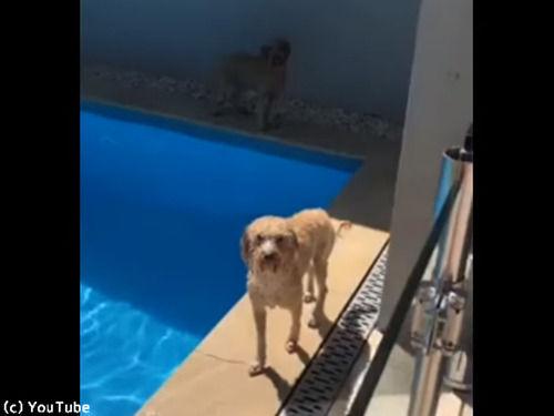 プール上がりの犬…なんてお利口さん!(動画)