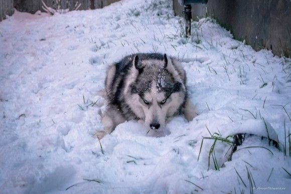 まだじゃ。まだ食べたりない。雪を食べつくさんばかりの勢いのハスキー。