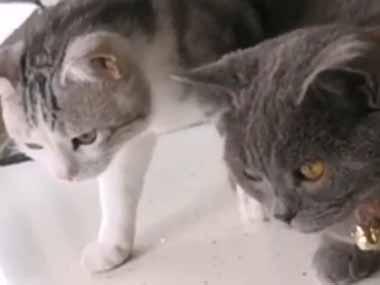 【ネコ】 台所に大きな魚がいた。気になる2匹の猫が覗き込む。これはにゃんですかぁ? → こうなる…