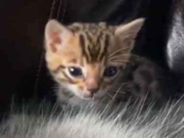 子ネコが「モフモフ」を登って行く。それはでっかい犬だった。どうなるの? → ハスキーさんはこうします…