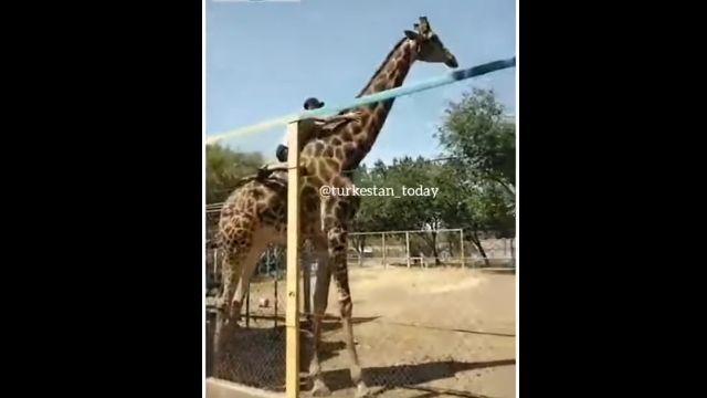 カザフスタンの動物園で、酔っ払いがキリンの背中に乗るという暴挙に