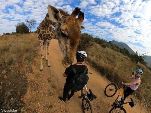 「アフリカで野生のキリンが目の前に来た!」ドキドキする至近距離(動画)