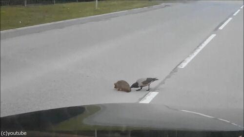ハリネズミの命を…カラスが助ける(動画)