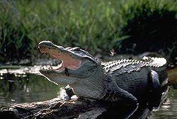 250px-Alligator