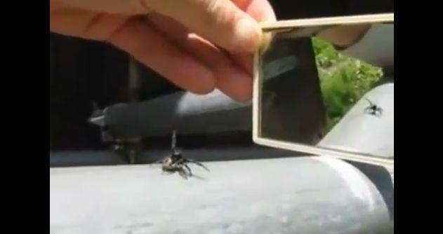 威嚇する蜘蛛1