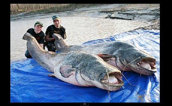 巨大魚 淡水001