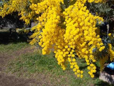 黄色い花はミモザでした!