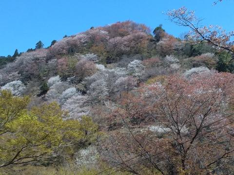 桜満開の吉野山(奈良恒例旅)