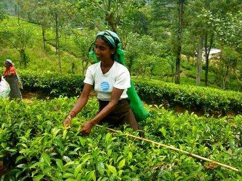スリランカ お茶摘み娘さん2013年