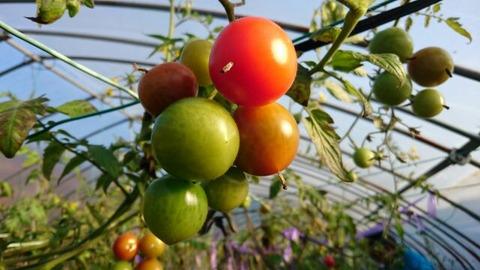 秩父のきゅうり、こんにゃく、トマト農家を視察4