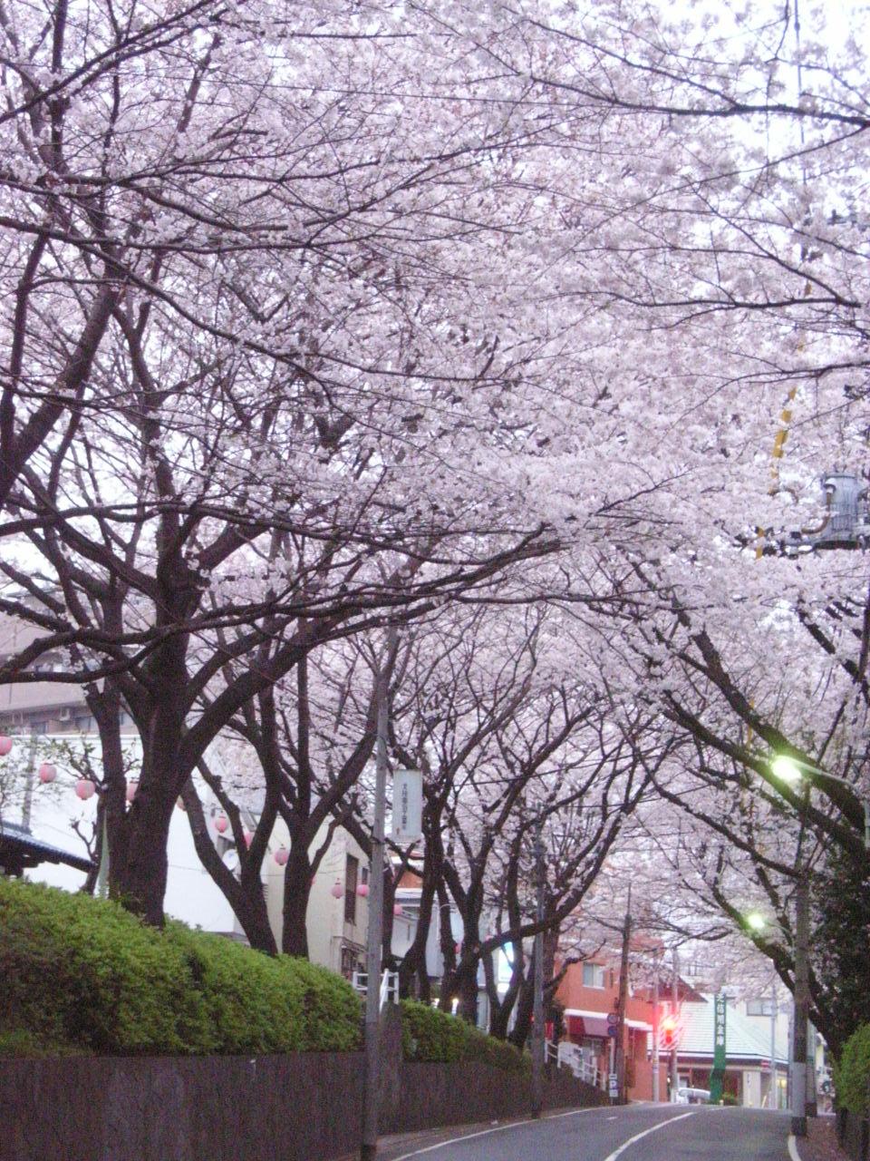 揺れる木漏れ日薫る桜坂