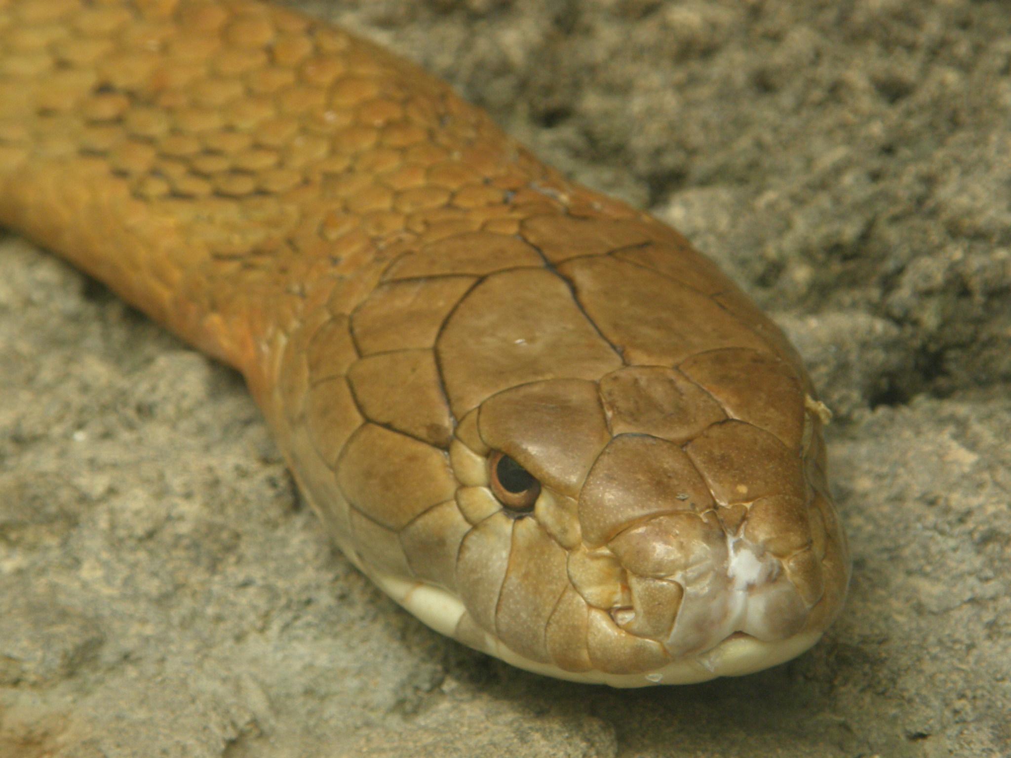 キングコブラの画像 p1_22