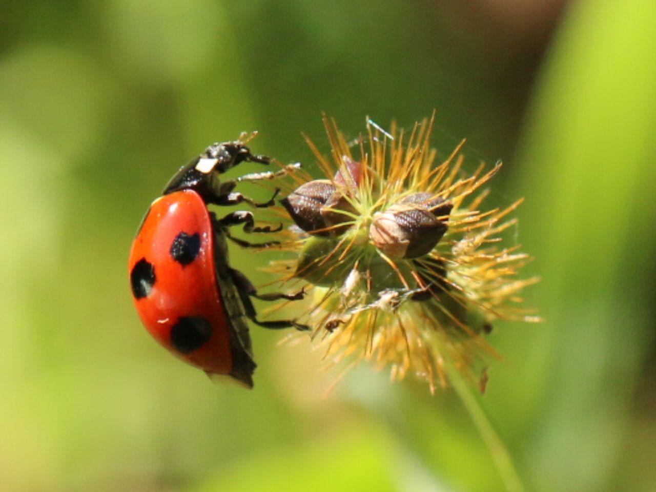 てんとう 虫 寿命 テントウムシの平均寿命とテントウムシの最高寿命