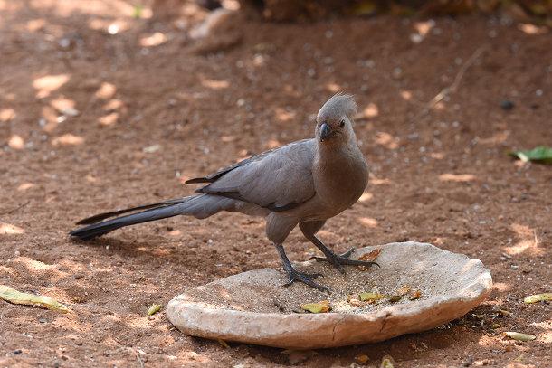 Grey bird (6)