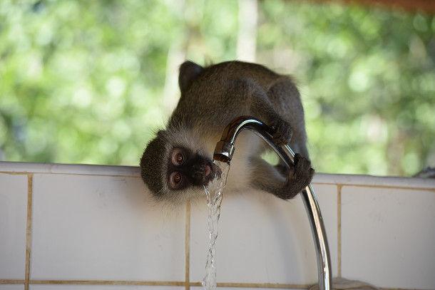 21 水飲むサル (32)