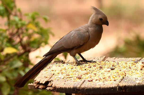 Grey bird (1)