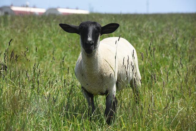めん羊 (2)s