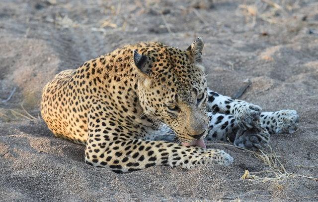 1豹 (36)