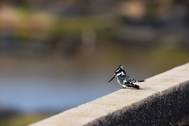23Pied kingfisher (1)