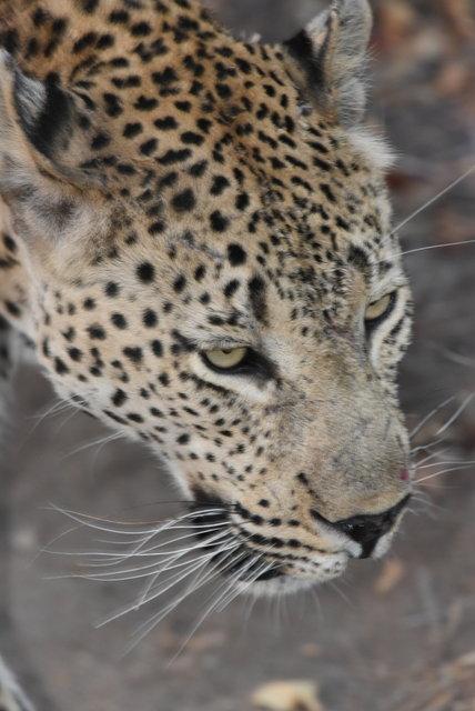 1豹 (26)
