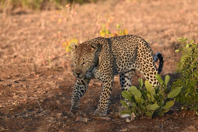 1豹 (6)